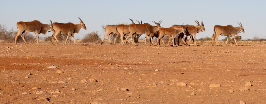 lapa_lange_game_lodge_namibia_buck