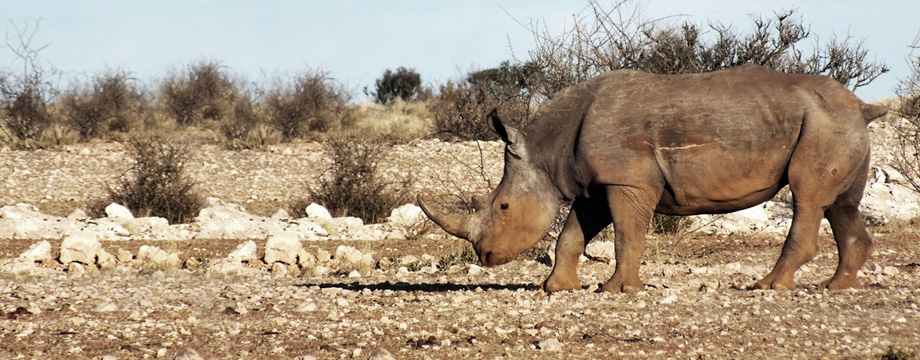 lapa_lange_game_lodge_namibia_rhino